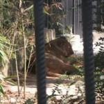 Darıca Hayvanat Bahçesi Aslan