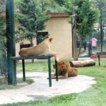 Darıca Hayvanat Bahçesi Aslanlar