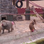 darica-orangutanlar