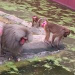 darica_orangutanlar