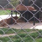 daricada-aslanlar